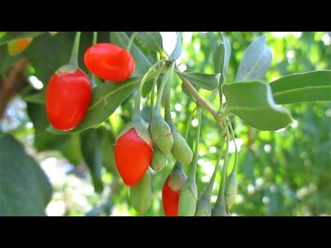 Growing/Harvesting Fresh Ripe Goji Berries | Ancient Superfood!