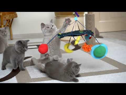 Британские котята в возрасте 10 недель (Litter- О2)