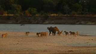 Baby Elephant Survives Attack by 14 Lions