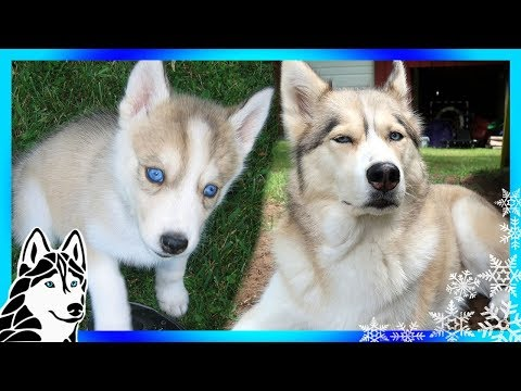 SHELBY THE HUSKY as a HUSKY PUPPY | Puppy Days