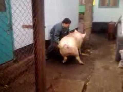 как зарезать бычка видео