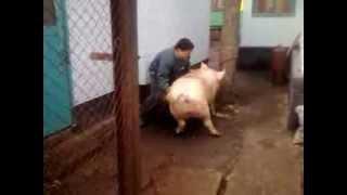 Repeat youtube video Как зарезать свинью.Мастер-класс от Ромы Кардаша