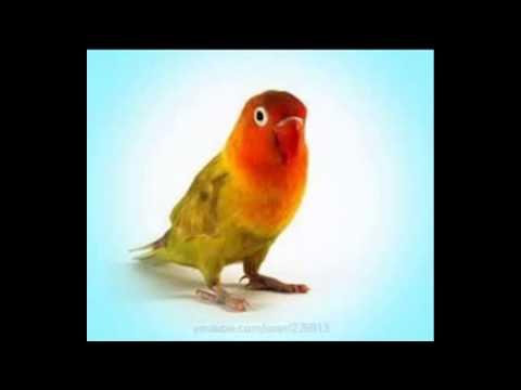 Suara Masteran LoveBird ngerol panjang