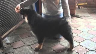Кубанская Сакура щенки тибетского мастифа продаются 8-938-865-07-37