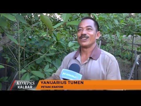 Masyarakat Putussibau Butuh Kepastian Terkait Status Daun Kratom - Kompas TV Pontianak
