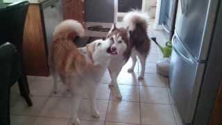 Siberian Huskies Howling Like Wolves
