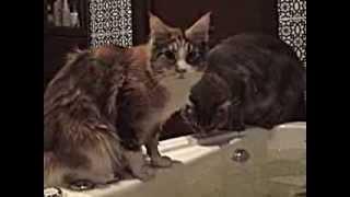 Мейн-кун ныряет в воду с головой(Мейн-куны очень любят воду. Потому что в их жилах течет кровь бесстрашных корабельных котов, которые ходили..., 2013-09-05T12:05:03.000Z)