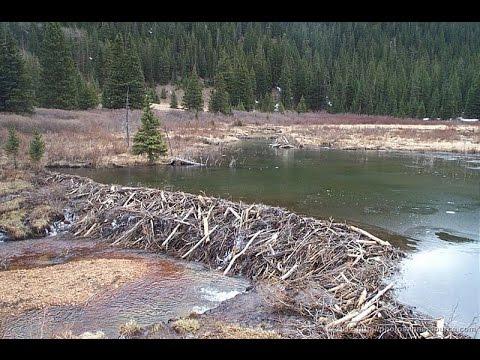 Как бобры регулируют уровень воды
