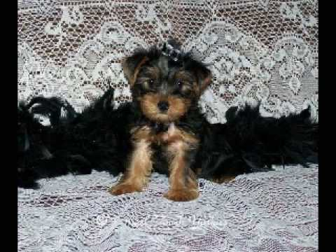 Yorkshire Terrier Male Puppy For Sale Youtube