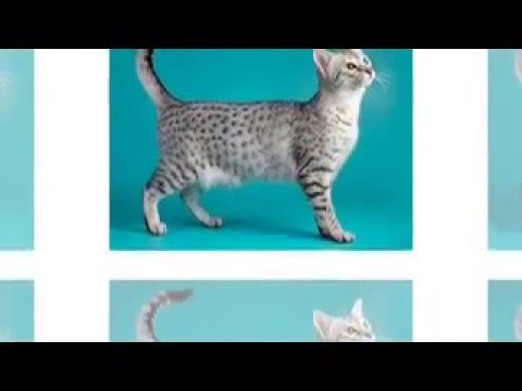 Egyptian Mau sacred cat