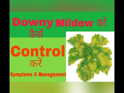 How to Control Downy Mildew on Grapes? | Disease Management  | Agro Tech | Hindi