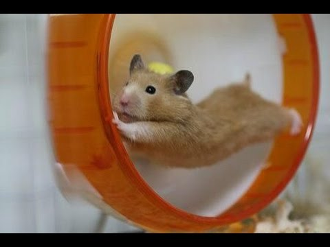 Funny hamsters in wheel videos -  Funny animals compilation 2016