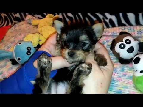 """The Faery Dog Mother: """"Lucy"""" the Morkie baby (for her new Mommy :)"""