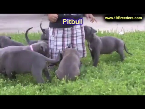 Pitbull, Puppies, Dogs, For Sale, In Columbus, Macon, Georgia, GA, Athens, Augusta