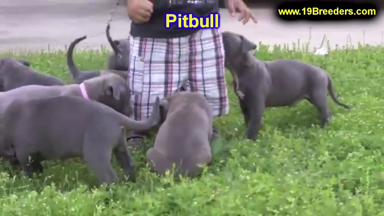 Pitbull Puppies Dogs For Sale In Columbus Macon