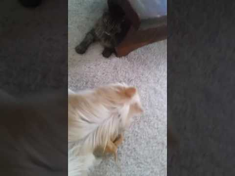 Maine Coon Cat vs Pomeranian