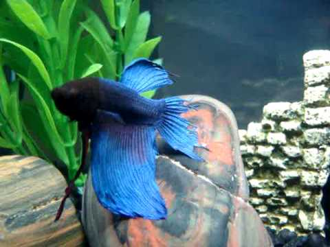 Betta fish tail biting youtube for Where are the fish biting