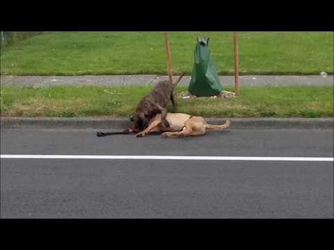 Seattle police kill dog For licensing and usage,  licensing@viralhog.com