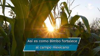 Además de sus productos de maíz y trigo, la panificadora impulsa iniciativas con productores de papa, cacao y de leche de cabra.  #agriculturasustentable       #campomexicano             #BIMBO