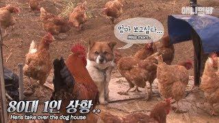 80 chickens VS 1 dog...Who will win?