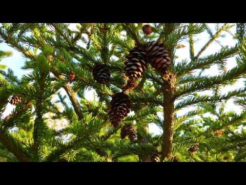 Identify My Trees: Conifers