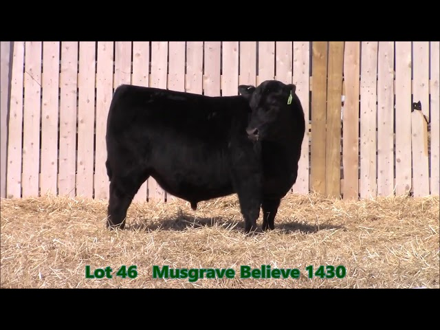 Musgrave Angus Lot 46