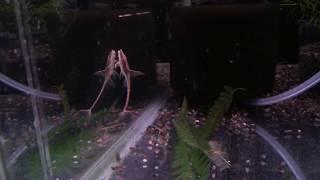 【熱帯魚動画図鑑】ロイヤルファロウェラ