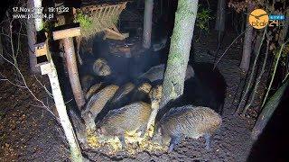 Parujące dziki 🐗 w karmisku dla dzikich zwierząt w lesie