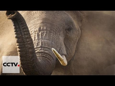 CITES conference considers extending international ivory ban