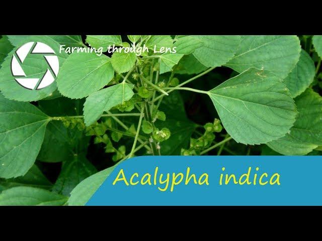 Acalypha indica - Kuppaimeni(??????????) - Poonamayakki(?????????)