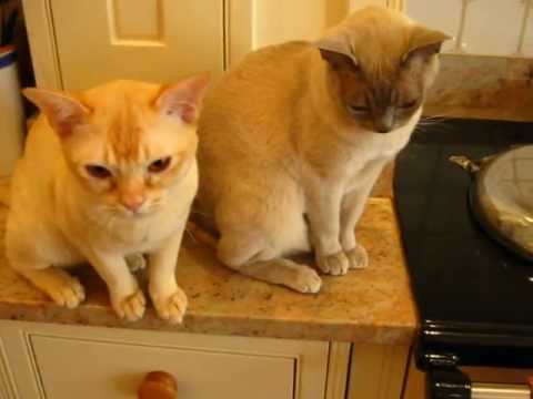 Friendliest cats of the world: Abyssinian