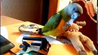Сенегальский попугай выкормыш играет (senegal parrot game)