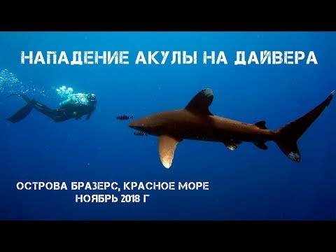 Нападение акулы на дайвера. Oceanic white tip shark attack. Brothers Islands, Red Sea