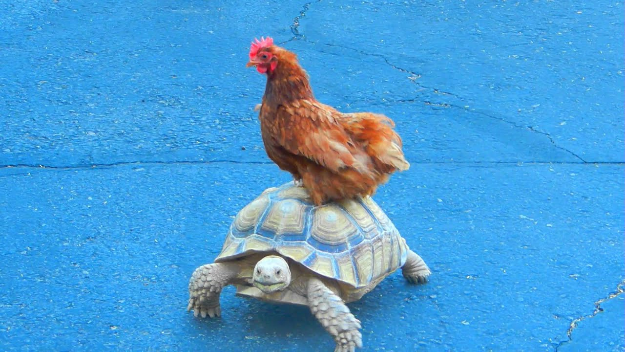 Chicken Riding Tortoise 23OCT11 - YouTube