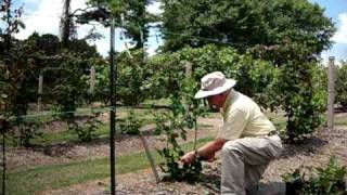 Dr. Arlie Powell demonstrating how to trellis blackberries. Petals from the Past thumbnail