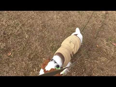 Charlottesville Dog Training - Kessler the Brittany