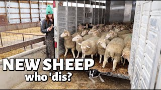 WE EXPANDED THE SHEEP FLOCK! (sorta.) Vlog 418