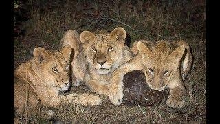 Животные мира Сафари Парк Лимпопо Жираф Слон Гну Носорог Бородавочник Лев Импала Павиан Зебра