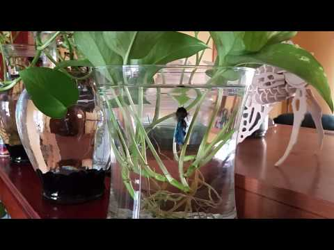 Bettas In Vases With Oxygen Providing Pothos Plants