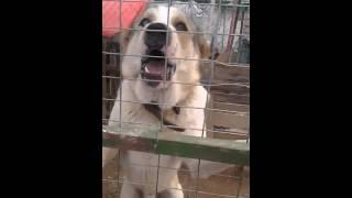 Τσοπανόσκυλο στο Μαντρί