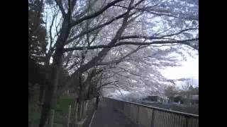 Walk in Sakura Trees Stop-Motion