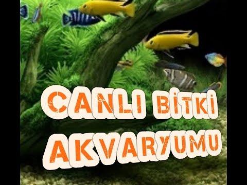 CİKLET AKVARYUM KURULUMU, Akvaryum Balıkları, Cichlid Fish