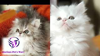 Glorious Pet's World, Pune all type pets  Persian cat , Dogs , Birds contact me on 9822070990