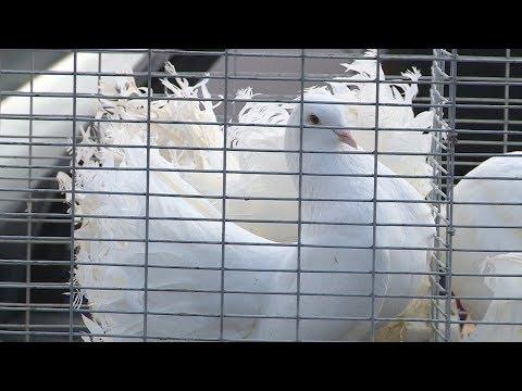 Телеканал НТК: Виставка-ярмарок голубів відбулася у Коломиї
