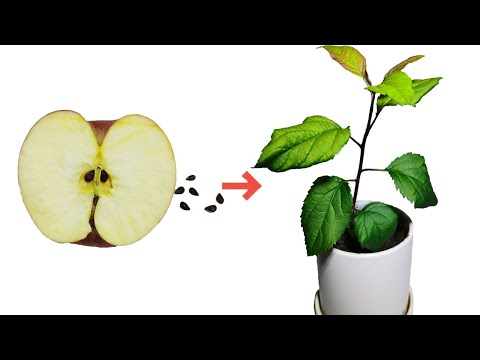 Growing An Apple Tree From Seed Time-lapse  54days  Apple Seed Germination