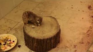 В Калининградском зоопарке рассказали, как живут после переезда сурикаты