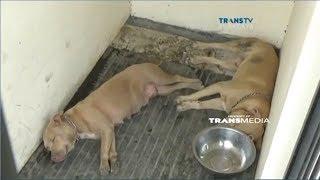 Nasib Anjing Pitbul yang Menerkam Warga hingga Tewas