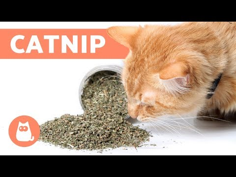 Pet Corner - What is CATNIP and How Does it Work? - Effects and Benefits