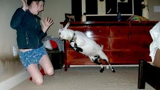 Download I'm 101% SURE that you will LAUGH EXTREMELY HARD! - Funny JUMPING GOATS videos Mp3 and Videos