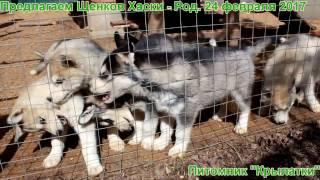 Продаются щенки сибирской хаски родились 24 февраля 2017 года